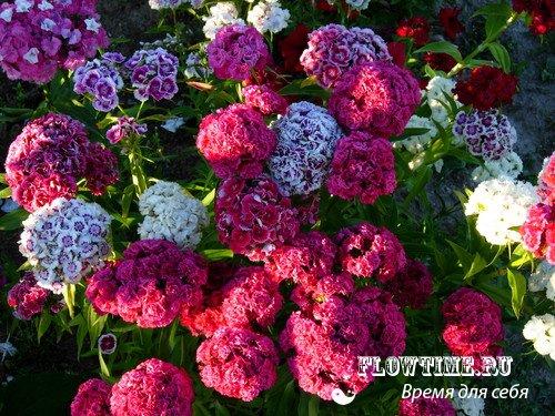 Китайская гвоздика фото цветы