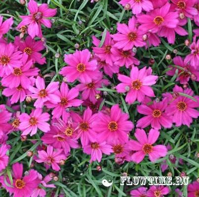 Цветы кореопсис уход